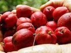 Samen von Regenwaldfrucht töten Krebs in Minuten