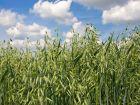 Avena sativa: Das Powergetreide Hafer in der Homöopathie